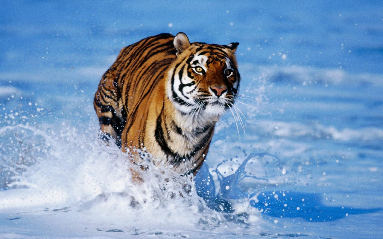 Beautiful Hd P Pictures Tiger Wallpapers Hd Bengal Tiger Hd Wallpaper Thehucproject